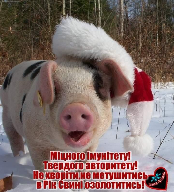 Картинка з Новим роком Свині